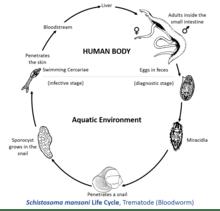 Schistosoma mansoni  Wikipedia