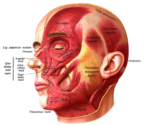 small resolution of diagram of human anatomy head and neck