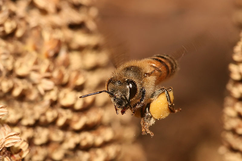 File:Apis mellifera flying.jpg
