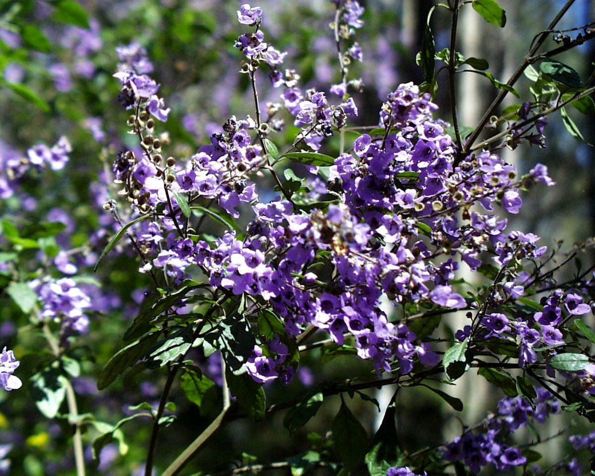 Prostanthera melissifolia  Wikipedia