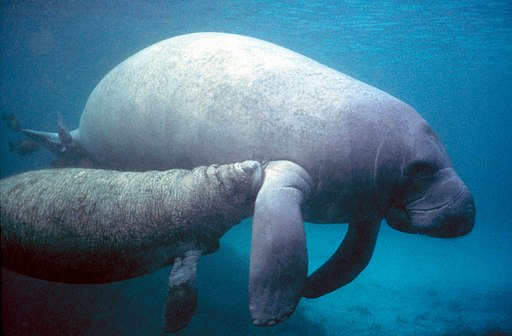 Manatee with calf.PD - colour corrected
