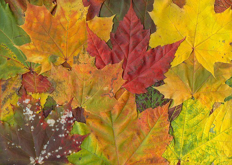 File:Maple-leaves-fall.jpg
