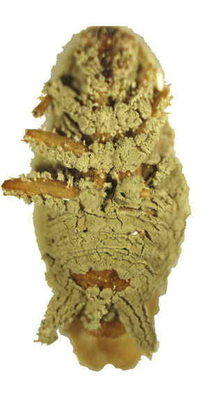 Metarhizium anisopliae fungus, capable of killing more than 200 insect species including cockroaches (pictured) (Photo credit: Wikipedia)