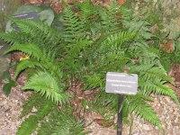 Polystichum tsus-simense - Wikipedia