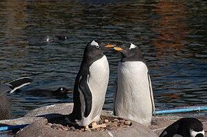 Pygoscelis papua English: Gentoo Penguins at E...