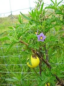 Solanum linnaeanum  Wikipedia