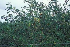 English: Solanum torvum (habit). Location: Mau...