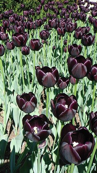 https://i0.wp.com/upload.wikimedia.org/wikipedia/commons/thumb/9/99/Tulipe_noire.JPG/338px-Tulipe_noire.JPG