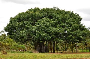A banyan tree in rural Karnataka, India