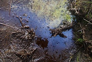 Bog oil An oily iridescence is often seen on t...