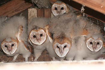 English: A friend had a nest of barn owls on t...