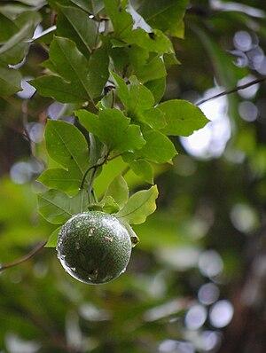 മലയാളം: passiflora