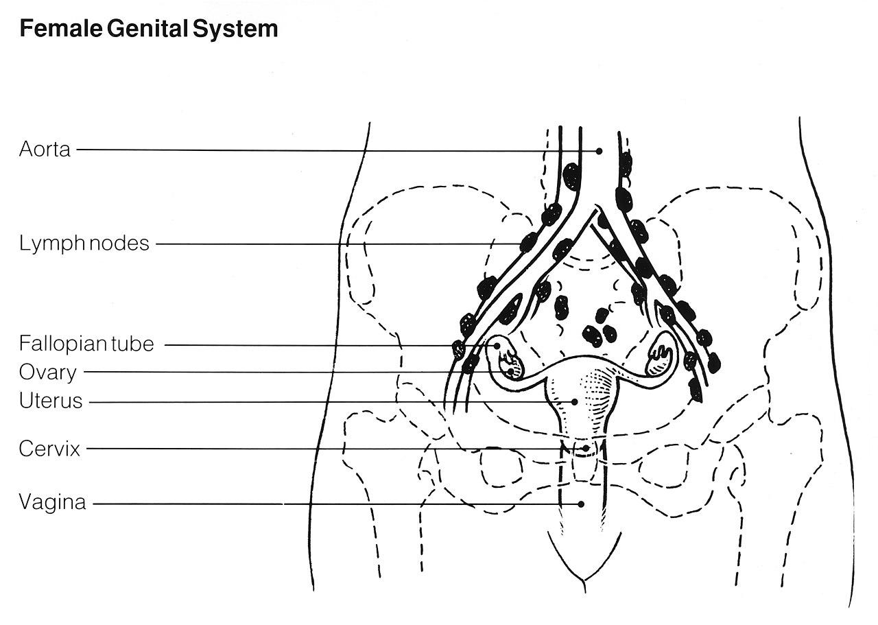 gynecology uterus diagram shakespeare globe theatre labeled original file  2 530 1 800 pixels size 534 kb