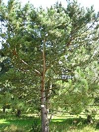 Pinus Nigra Wikip 233 Dia