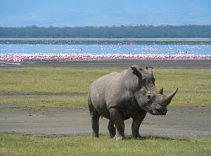 White Rhino in Lake Nakuru 2