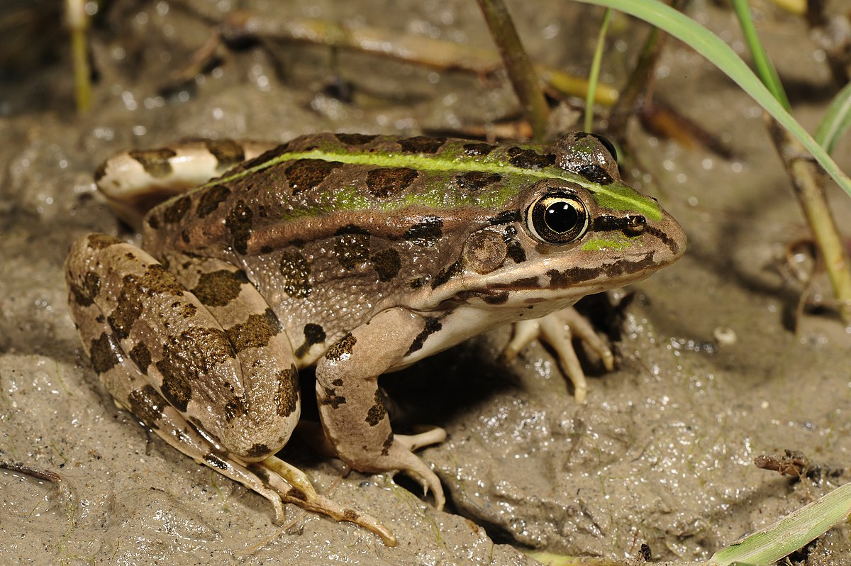 Epirus Water Frog  Wikipedia
