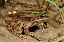 Epirus water frog Wikipedia