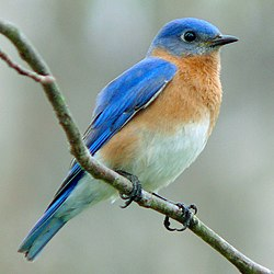 Image of a bluebird