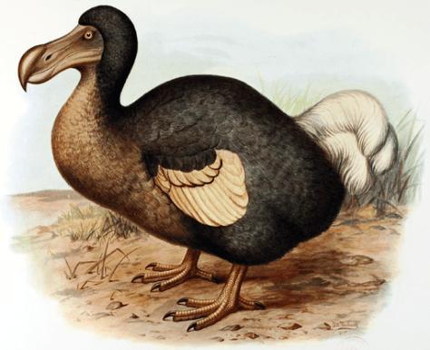 Frohawk Dodo