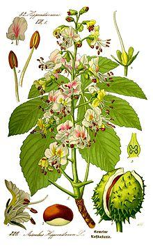 Illustration Aesculus hippocastanum0 clean.jpg