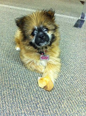 English: Maltese Yorkie Puppy