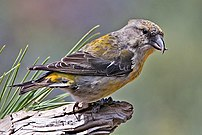 Red Crossbill (Female)(Loxia curvirostra), Cab...