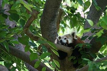 English: red panda