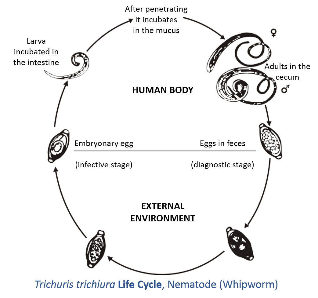 Diagram Of Schistosoma Egg