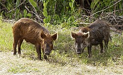 Feral pigs in Florida, United States
