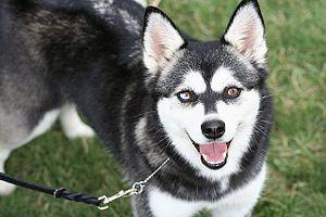 English: Bi-eyed Black and White Alaskan Klee Kai