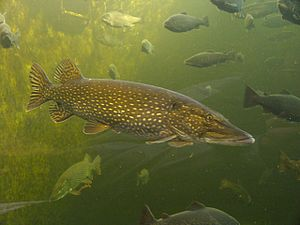 Northern pike in public aquarium in Kotka, Finland