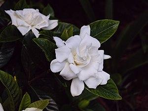 Gardenia jasminoides synonym Gardenia augusta ...