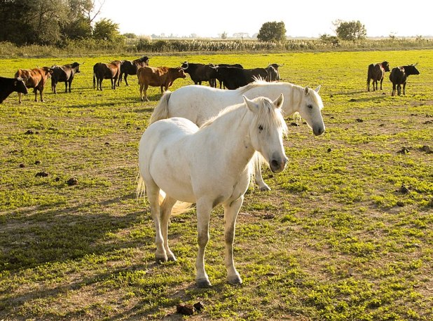 File:Horses in the Camargue 1.jpg