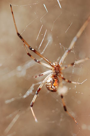 Stunning Brown Widow