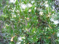 Daun dan bunga Myrtus communis