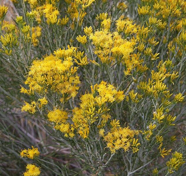 File:Rabbitbrush dark gold flowers.jpg