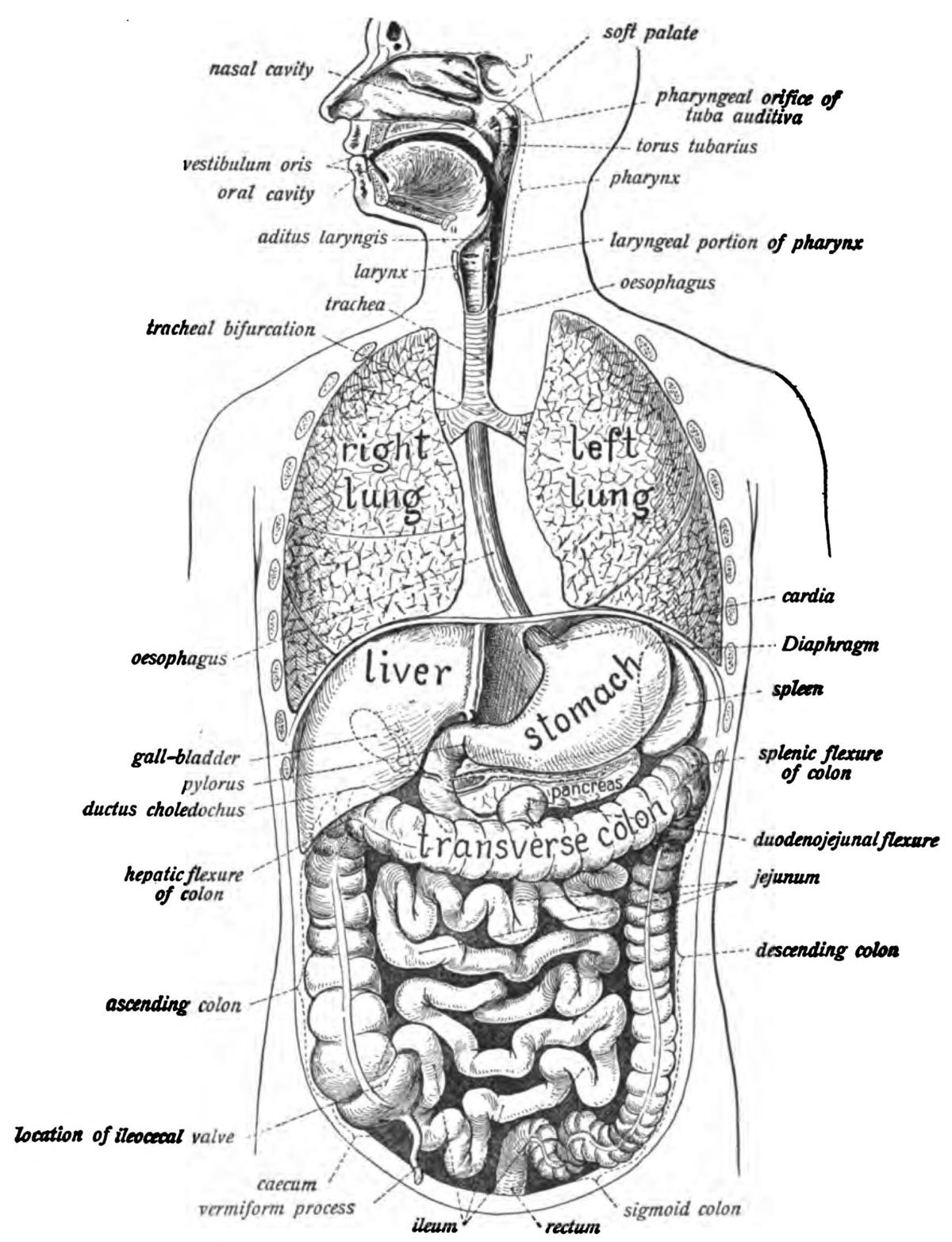 cephalic body diagram label