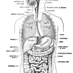 Human Intestines Diagram 3 Way Switch Wiring Diagrams Digestive System Wikipedia