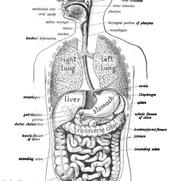 human digestive system wikipedia rh en wikipedia org how the respiratory system works teachers labeled diagram respiratory system [ 1200 x 1565 Pixel ]