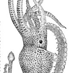 Labeled Diagram Of Octopus Lucas Voltage Regulator Wiring Wikipedia Drawing A Male With One Large Arm Ending In The Sexual Apparatus