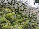 Wistman's Wood, a remnant of ancient oak Querc...