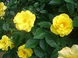 Yellow Roses, Japan