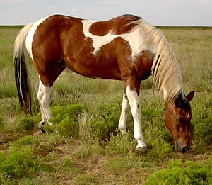 Photo of an American Paint Horse taken by myself