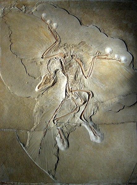 Archaeopteryx siemensii