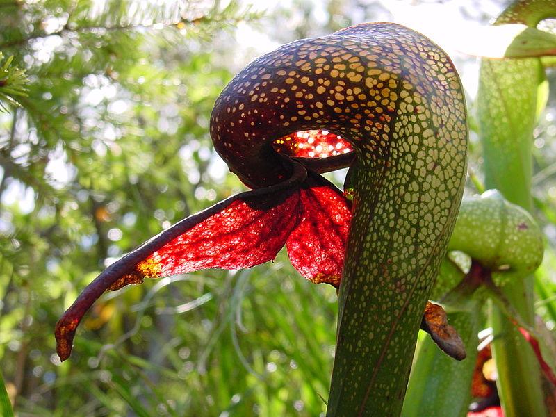 ფაილი:Darlingtonia californica ne8.JPG