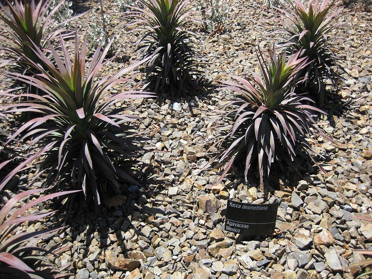 Yucca Desmetiana Wikipedia