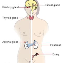 Endocrine System Diagram Plug In Wiring Wikipedia