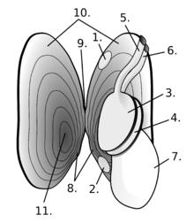 mollusca diagram labeled ezgo txt golf cart battery wiring bivalvia wikipedia freshwater pearl mussel anatomy