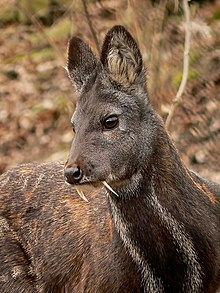 Image result for musk deer