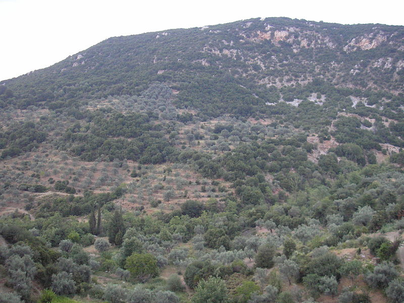 File:Olive trees on the mountain.jpg